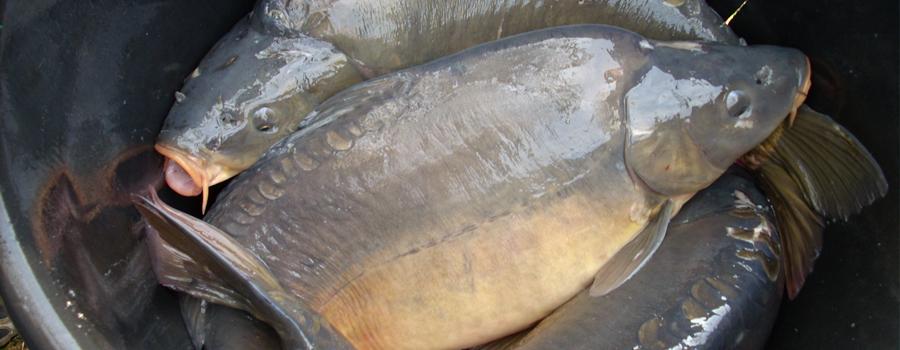 Pesce gatto for Vendita pesci